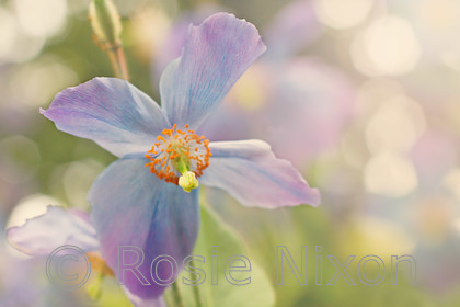 meconopsis-blue-branklyn-garden-hazy-sunshine 