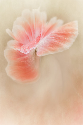 salmon-shirley-poppy 