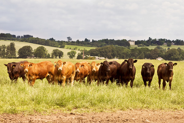 cattle-limousin-methven-castle 