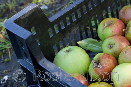 bramley apple fruit 