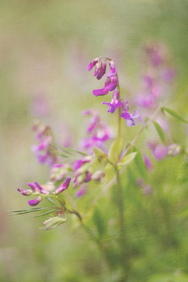 spring-vetchling-Lathyrus-vernus 