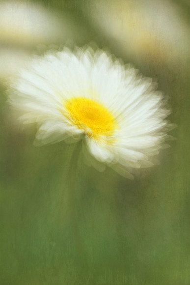 anthemis-1 