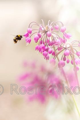 1-c-n-bee-allium-june 