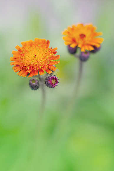 Hieracium aurantiacum orange hawkweed 1 