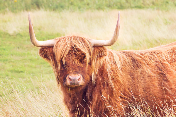 red-highlander-cattle 