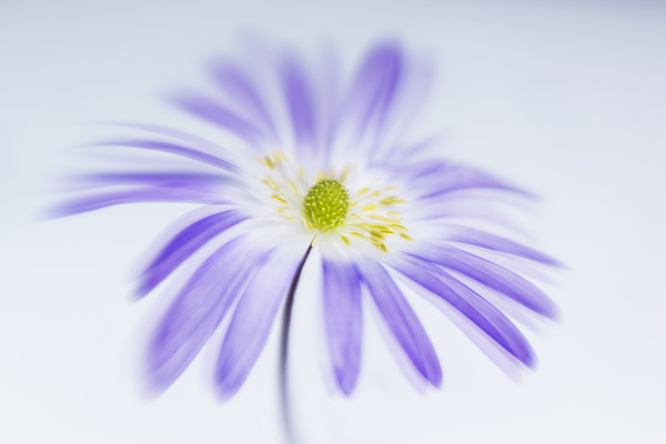 blue-anemone-blanda-4 