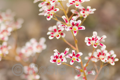 saxifrage-southside-seedling-unshrp 