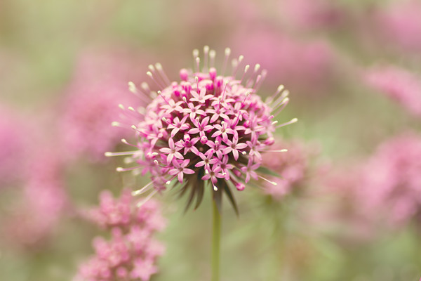 Phuopsis-stylosa-copy 