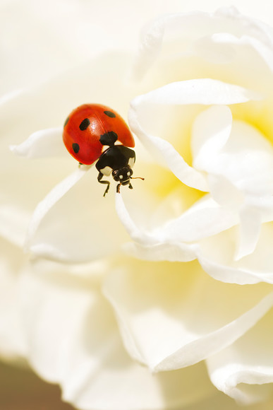 ladybird-on-white-daffodil-petals 