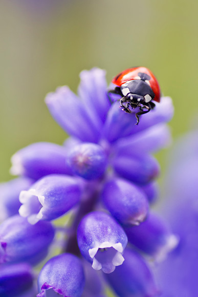 ladybird on blue muscari flower 