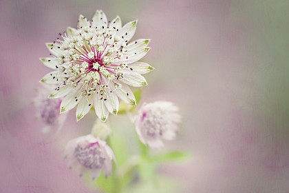 astrantia-summer-flower-macro 
