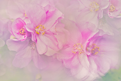 pink-abutilon 