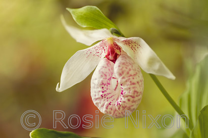 Cypripedium-formosanum-unshp 