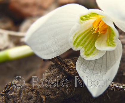 snowdrop-(2) 