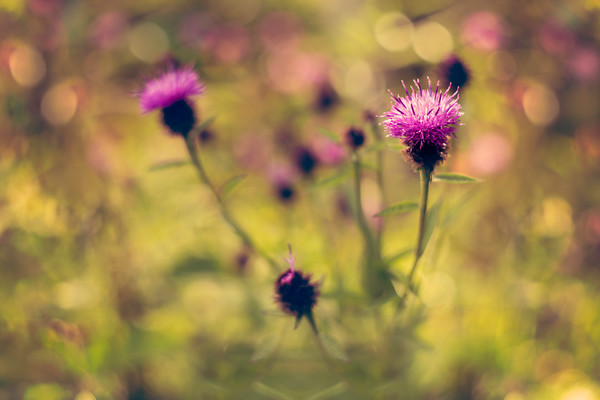 knapweed-3 