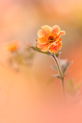 orange-geum 