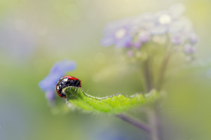 Click to view Rosie's Perthshire ladybird macro images